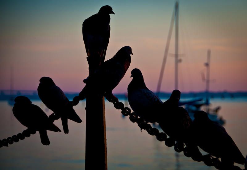 Pigeons on the chain in St. Augustine, Florida.