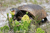Gopher tortoise eating cactus bloom