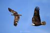 Eagle chasing osprey