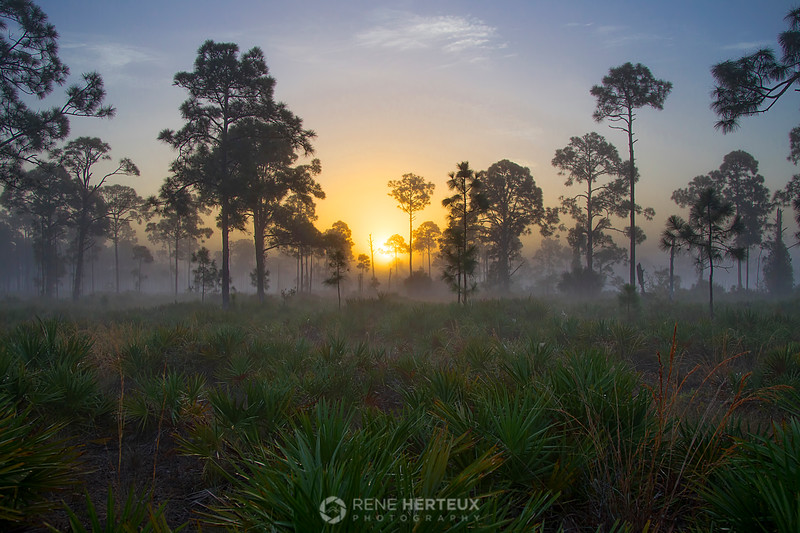 Foggy saw palmetto sunrise