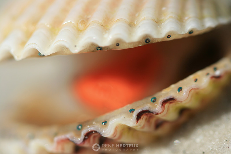 Calico scallop macro