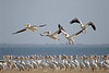 White pelicans taking off