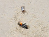Fiddler crabs, male and female, Nabq protected area