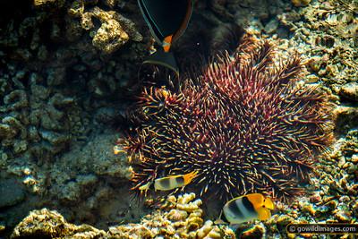 Crown-of-thorns Starfish