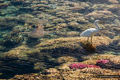 Shark vs Egret