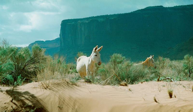 Wild Mules or donkeys