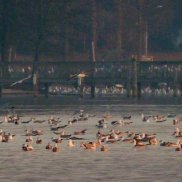 Gulls at work