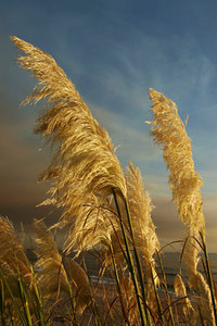 Pampas Grass Pacific Coast Highway, La Conchita
