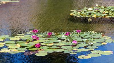 Water lilies Balboa Park San Diego