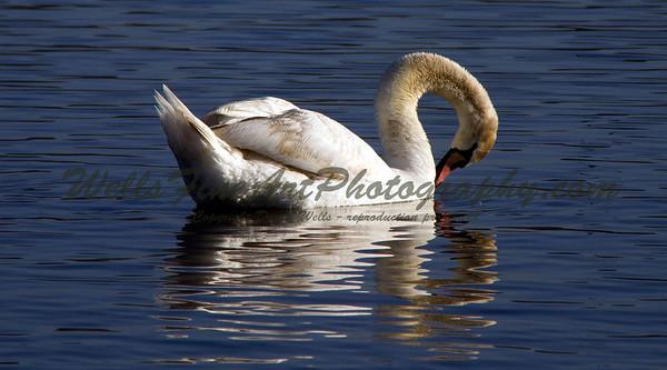 Lake Balboa Park swan