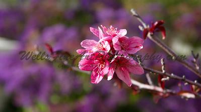 Crab apple blossum with purple status
