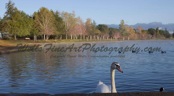 Morning swan at Lake Balboa park