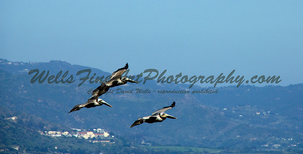 Pelicans over Malibu