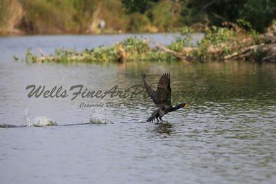 Cormorant taking off 3
