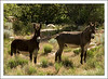 Ferral Burros - descendants of those that escaped from early settlers and prospectors.
