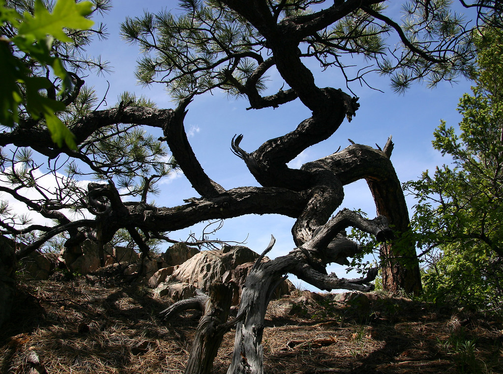 Bonzai Ponderosa tree in the sourthern Manzano Mountains