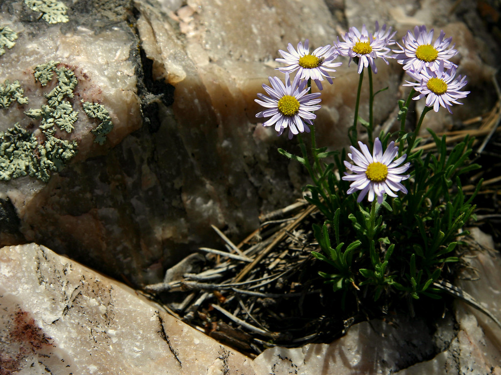 Flowers in rocky cleft in Manzano Mountains