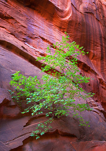Tree in side canyon off Long Wash