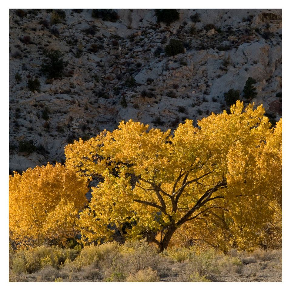 Glowing cottonwood