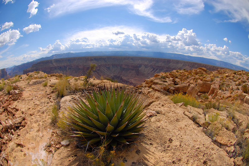Agave on the rim of the Grand Canyon