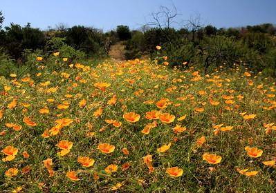 Wild Desert Flowers (22)