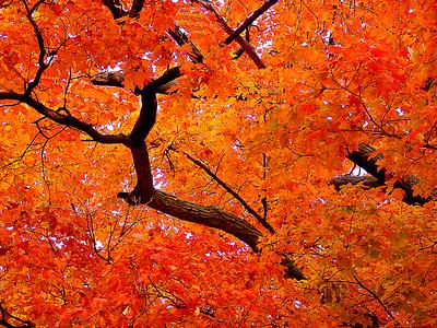 Fall Colors, Maple
