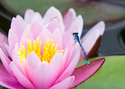 Blue Dasher on a Lotus bloom.