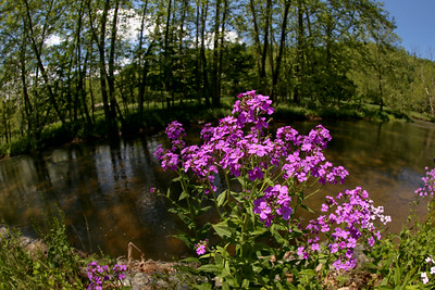 Phlox On The Holston