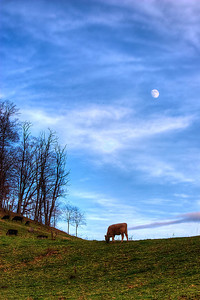 Some cattle graze under a near full moon on top of the hill at the farm.