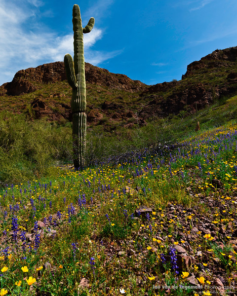 Lupine, Poppies and Saguaro