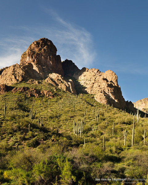 Field of Saguaros