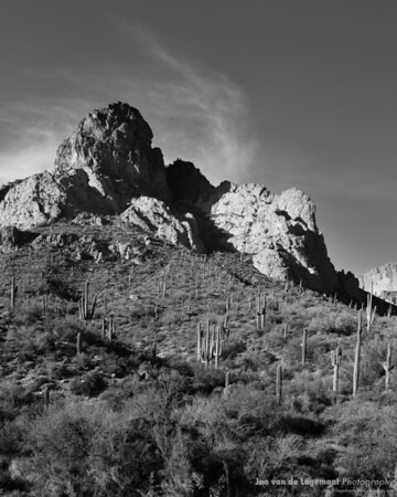 Field of Saguaros BW