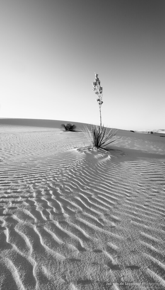 Black and white Yucca on white Sands