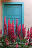 Pink lupine blue door