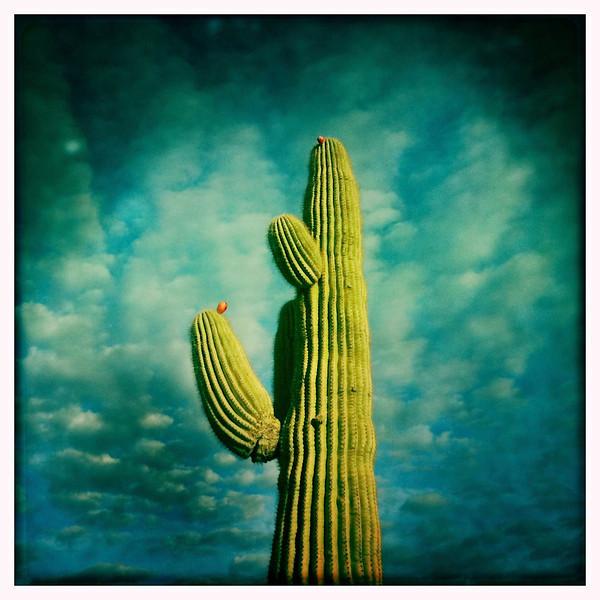 Saguaro Cactus, AZ