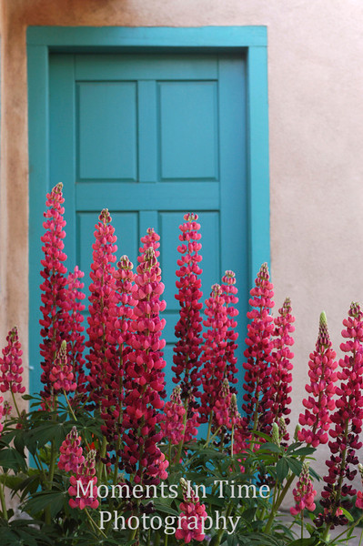 Pink lupine blue door