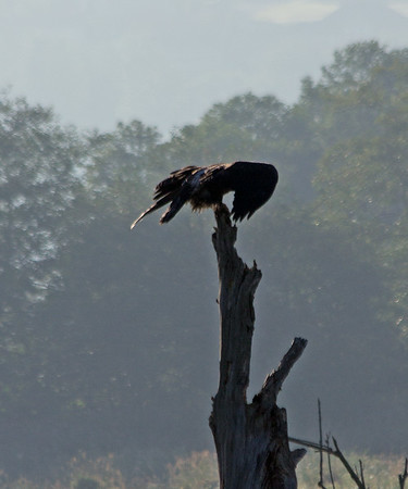 Just fledged Bald Eagle