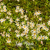 175  G Avalanche Lilies