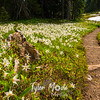 251   G Trail and Avalanche Lilies