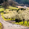 19  G Pear Trees and Road
