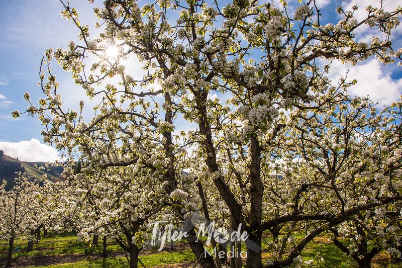 30  G Pear Trees and Blue Sky Sun