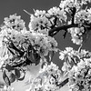 26  G Pear Trees and Blue Sky BW