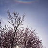 59  G Plum Tree and Circumzenithal Arc V