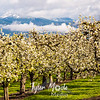 9  G Pear Trees and Distant Hills