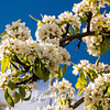 25  G Pear Trees and Blue Sky Close