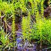 26  G Horestail Plants