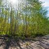 51  G Sun Through Trees V