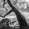 49  G Moulton Falls Tree BW