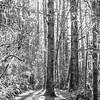 54  G Moulton Falls Trees BW V