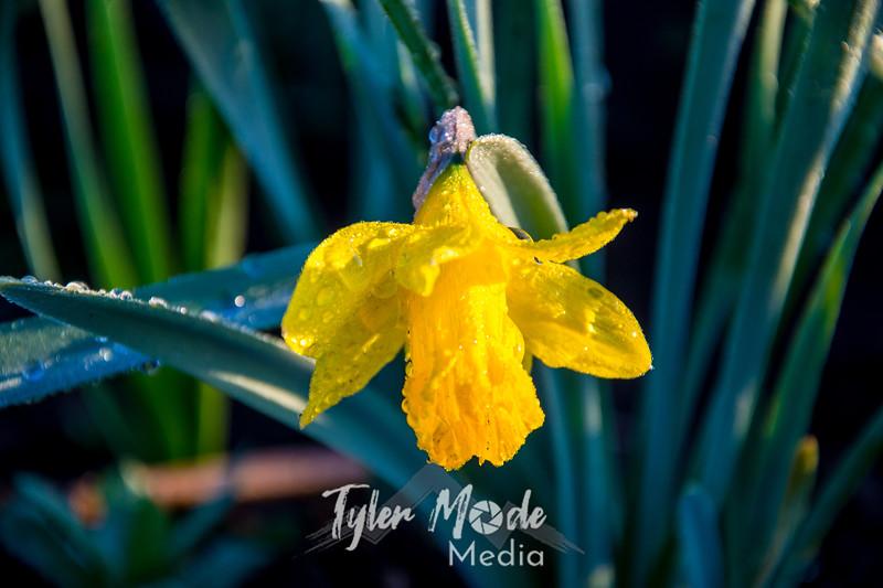 13  G Lone Daffodil